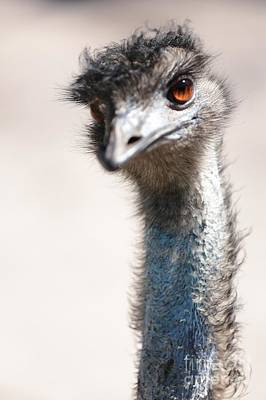 Emu Photograph - Curious Emu by Carol Groenen