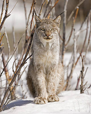 Canadian Lynx Photograph - Curious Lynx by Tim Grams