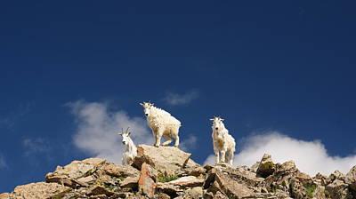 Mountain Goat Photograph - Curious Mountain Goats by Michael Bauer
