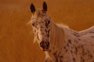 Curious Pony With Spots Print by Jeff Swan