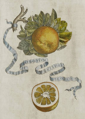Curled Leaf Orange Print by Cornelis Bloemaert