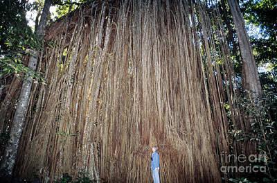 Strangler Fig Photograph - Curtain Fig, Australia by Gregory G. Dimijian, M.D.