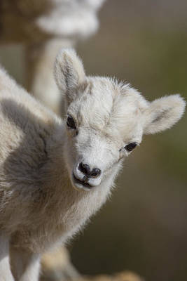 Sheep Photograph - Cute And Curious Lamb by Tim Grams