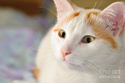 Turkish Van Cat Photograph - Turkish Van Cat Portrait by Martin Capek