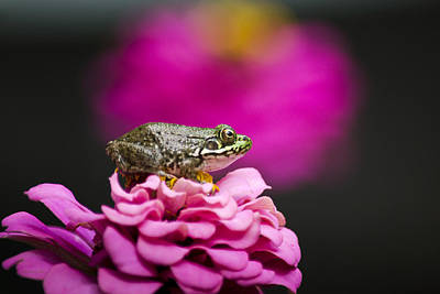 Cute Green Frog On Pretty Pink Flower Original by Christina Rollo