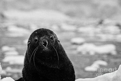 Fournier Photograph - cute juvenile fur seal looking to camera floating on iceberg in Fournier Bay Antarctica by Joe Fox