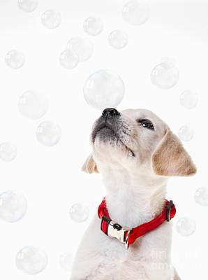 Cute Puppy With A Soap Bubble On His Nose. Print by Diane Diederich