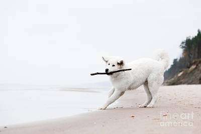 Cute White Dog Playing With Stick On The Beacholish Tatra Sheepdog Print by Michal Bednarek