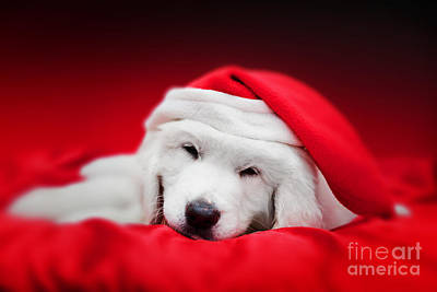 Cute White Puppy Dog In Chrstimas Hat Sleeping In Red Satin Print by Michal Bednarek