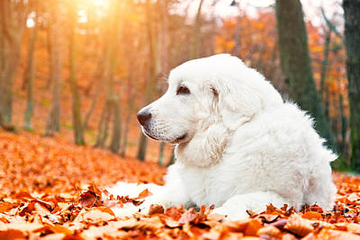 Purebred Photograph - Cute White Puppy Dog Lying In Leaves In Autumn Fall Forest by Michal Bednarek