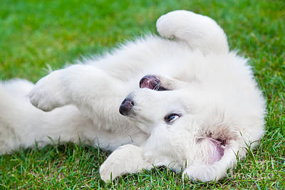 Canine Photograph - Cute White Puppy Dog Playing On Grass by Michal Bednarek