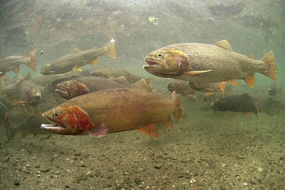 Cutthroat Trout In The Spring Idaho Print by Michael Quinton