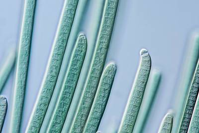 Cyanobacteria Filaments Print by Gerd Guenther