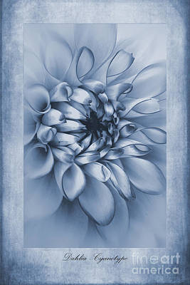 Isolated Digital Art - Cyanotype Dahlia  by John Edwards