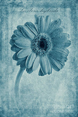Cyanotype Gerbera Hybrida With Textures Print by John Edwards