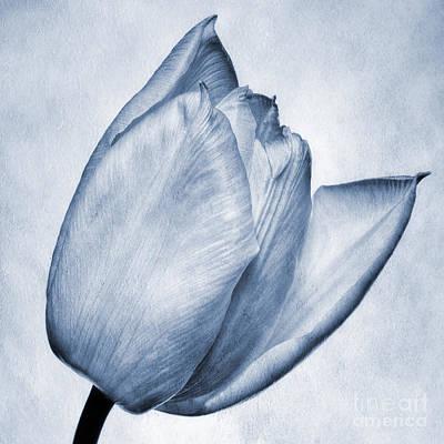 Fragility Digital Art - Cyanotype Tulip by John Edwards