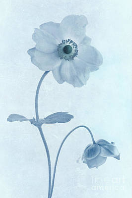 Macro Digital Art - Cyanotype Windflowers by John Edwards