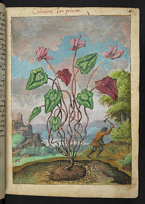 Cyclamen Print by British Library
