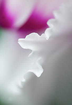 Cyclamen Flower Close-up Print by Jaynes Gallery