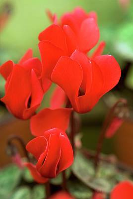 Cyclamen Persicum 'mini Scarlet' Print by Adrian Thomas