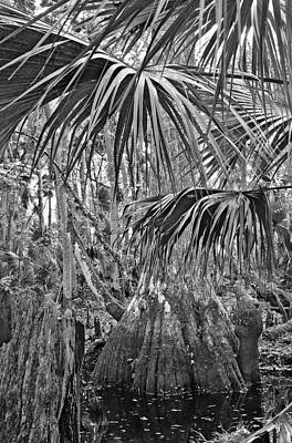 Cypress And Palm Canopy. Green Swamp Wildlife Management Area Polk County.    Print by Chris  Kusik