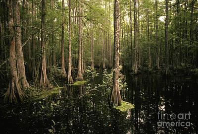 Cypress Swamp Photograph - Cypress Swamp by Ron Sanford