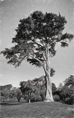 Golden shower cypress classic