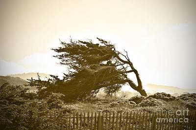 Of Pacific Grove Ca Photograph - Cypress Trees In Monterey by Artist and Photographer Laura Wrede