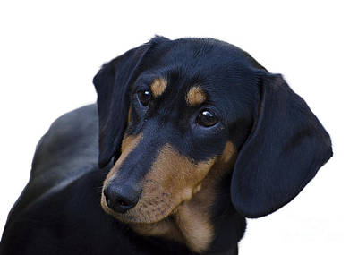 Little Dogs Photograph - Dachshund by Linsey Williams
