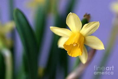Daffodil Print by AmaS Art