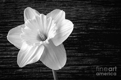 Daffodil Narcissus Flower Black And White Print by Edward Fielding