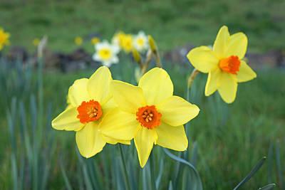 Daffodil Flowers Meadow Fields Art Prtints Print by Baslee Troutman