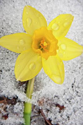Interior Still Life Photograph - Daffodil In Spring Snow by Adam Romanowicz