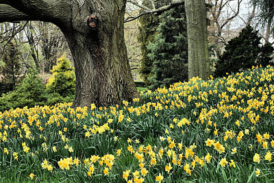 Daffodil Spring Print by JC Findley