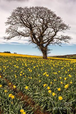 Daffodils Digital Art - Daffodil Valley by Adrian Evans