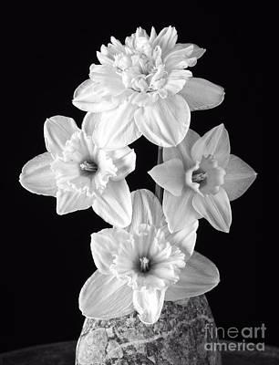 Spring Bulbs Photograph - Daffodils by Edward Fielding
