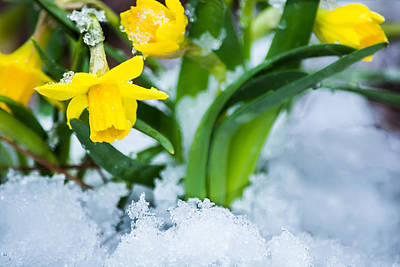 Daffodils In The Snow  Print by Parker Cunningham