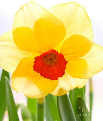 Photograph - Daffy by Jay Nodianos