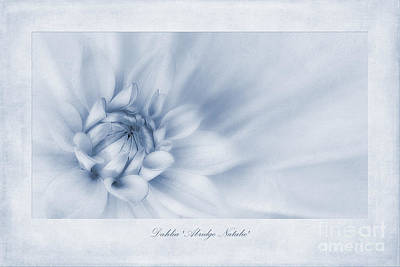 Dahlia 'abridge Natalie' Cyanotype Print by John Edwards
