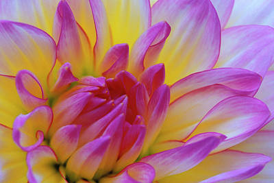 Dahlia Close-up Credit Print by Jaynes Gallery