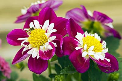 Dahlia Dahlietta 'surprise Becky' Print by Science Photo Library