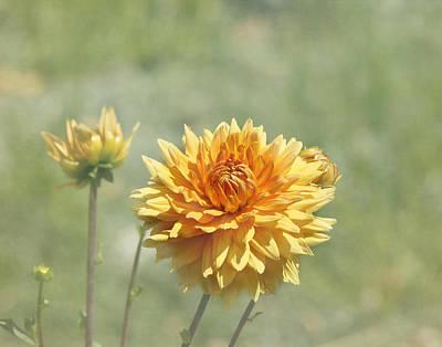 Kim Photograph - Dahlia Flowers by Kim Hojnacki