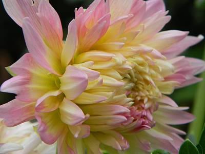 Floral Photograph - Dahlia In Bloom by Tammy Garner