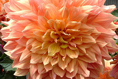 Dahlia In Peach And Yellow Print by Mary Ellen Tuite