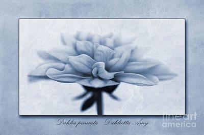 Dahlia Pinnata Cyanotype Print by John Edwards