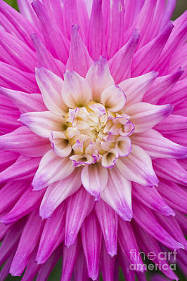 Dahlia Ruskin Andrea Flower Print by Tim Gainey