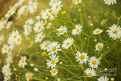Flowers Photograph - Daisies In A Summer Medow by Gry Thunes