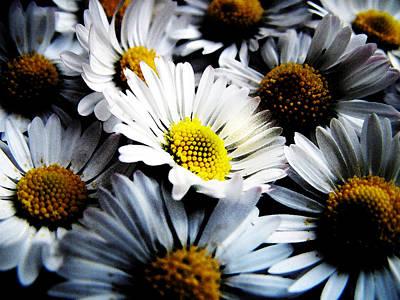 Flower Photograph - Daisies by Mark Rogan