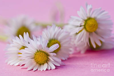 Daisies On Pink Print by Jan Bickerton
