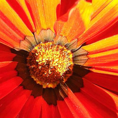 Sunburst Floral Still Life Photograph - Daisy 2-1 by Ann Pelaez